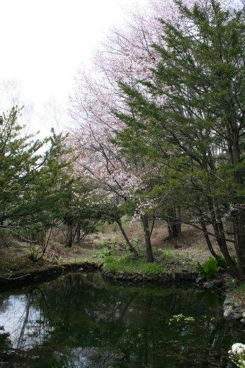 110518裏山の桜 019.jpg